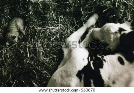 baby calf and kitten - stock photo