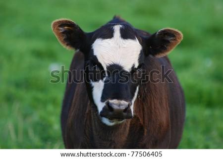 Baby calf in green grassy field - stock photo