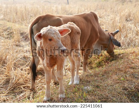 baby calf on the field - stock photo