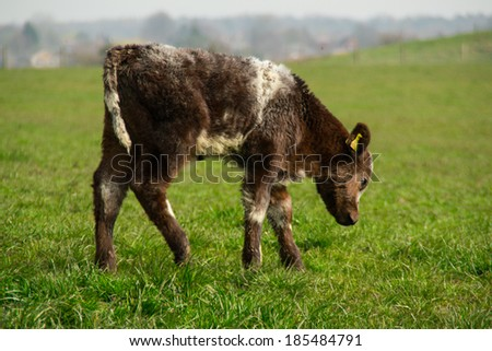 Baby calf walking in the field.