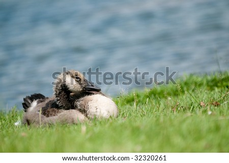 Baby canada goose (gosling) resting in grass near water.