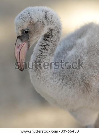baby caribbean flamingo 1 - stock photo