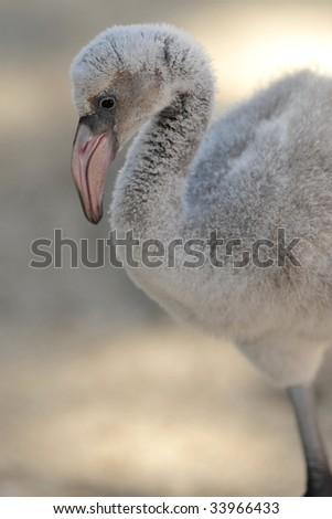 baby caribbean flamingo 2 - stock photo