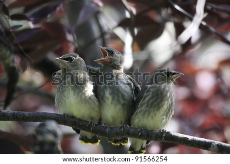 Baby Cedar Waxwings - stock photo