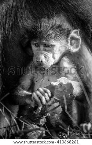 Baby chacma baboon learning to eat through play, Botswana