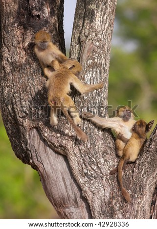 Baby Chacma baboons (Papio cynocephalus) playing in the tree in South Africa - stock photo