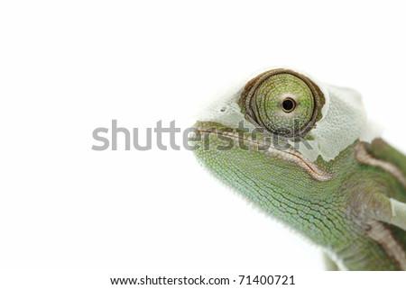 Baby chameleon is shedding skin, macro focused on eyes - stock photo