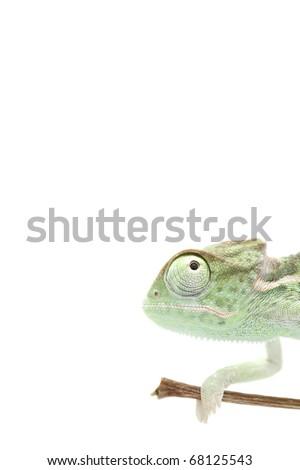Baby chameleon posing in light tent, macro, focused on eyes - stock photo