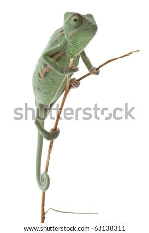 Baby chameleon posing in light tent, macro focused on eyes - stock photo