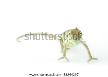 Baby chameleon posing in light tent macro focused on eyes  sc 1 st  Shutterstock & Baby Chameleon Posing Light Tent Macro Stock Photo 68244397 ...