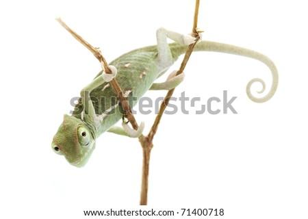 Baby chameleon posing in light tent macro focused on eyes  sc 1 st  Shutterstock & Baby Chameleon Posing Light Tent Macro Stock Photo 71400718 ...