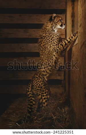 Baby Cheetah looking into the window on dark background - stock photo