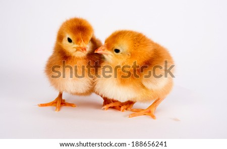 Baby Chick Newborn Farm Chickens Standing White Rhode Island Red - stock photo