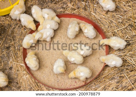 Baby chicken being fed on a chicken farm, overhead view - stock photo