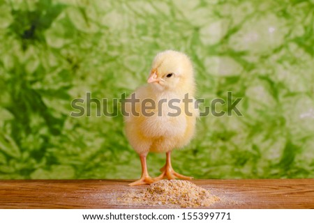 Baby chicken having a meal in front  of green background - stock photo