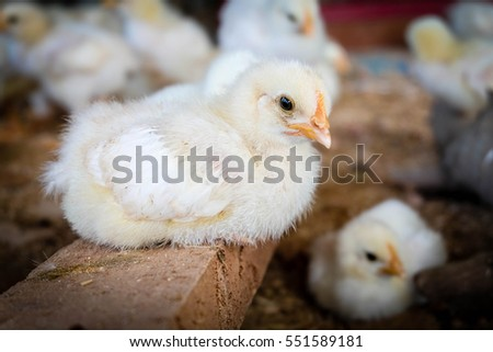 Baby chicken in poultry farm