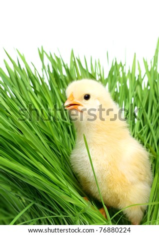 Baby chicken on green grass
