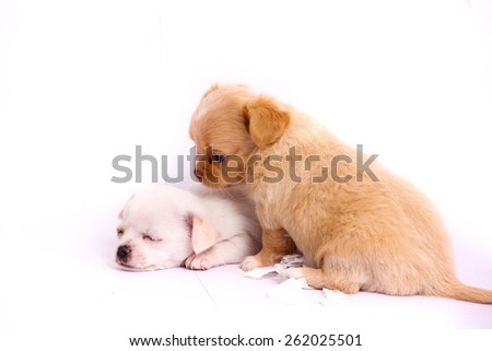 baby chihuahua - stock photo