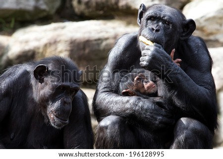Baby Chimp wants some of its mother's banana - stock photo