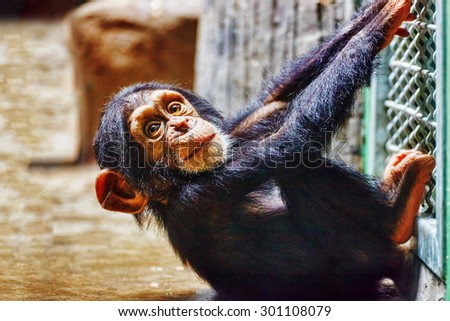 Baby  Chimpanzee apes  in the indoor. - stock photo