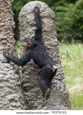 Baby chimpanzee climbing on artificial ant mounds at a zoo. He his holding a stick in his feet and probing a hole with it. - stock photo