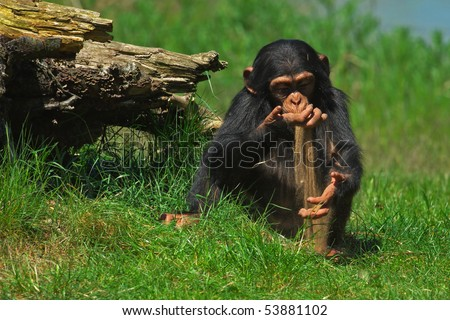 Baby chimpanzee playing with sand close to a stump - stock photo
