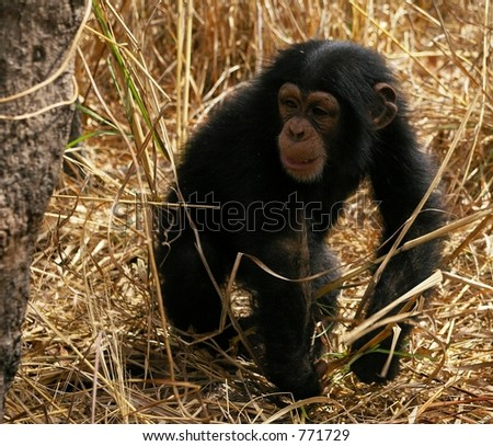 Baby chimpanzee walks through the grass in an African park - stock photo
