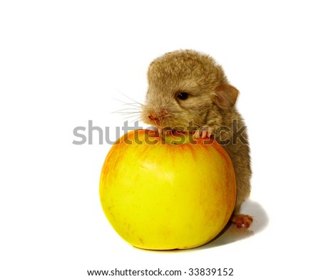 baby chinchilla and the apple isolated background on white - stock photo