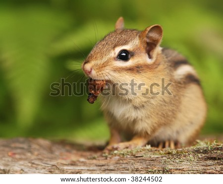 baby chipmunk with acorn