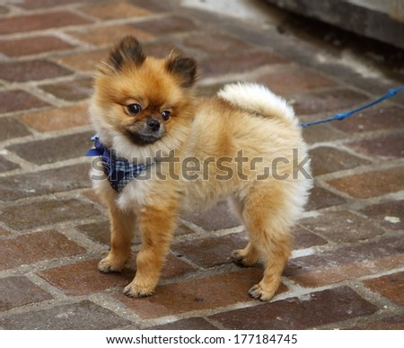 Baby chow-chow standing in the street while looking away - stock photo