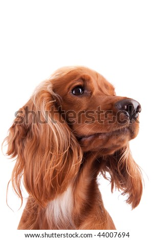 Baby Cocker Spaniel isolated over white - stock photo