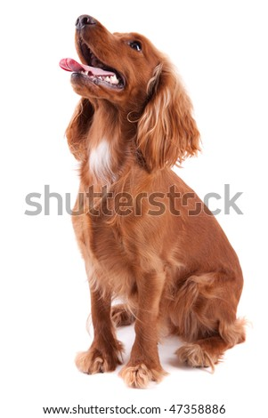 Baby Cocker Spaniel isolated over white background - stock photo