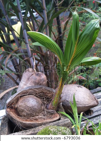 baby coconut - stock photo