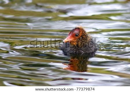 Baby coot chicks - stock photo