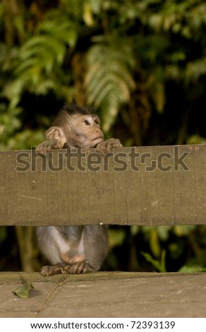 Baby crab eating macaque (Macaca fascicularis) hiding behind wooden fence peering over. Taken in Ubud Monkey Forest, Bali.