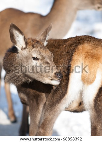 Baby deer fawn in winter - stock photo