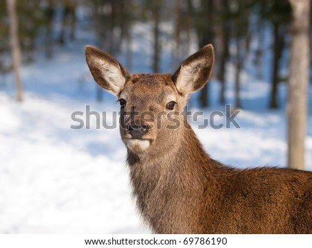 Baby deer fawn in winter - stock photo