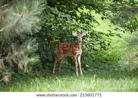 Baby Deer in the woods looking at the camera - stock photo