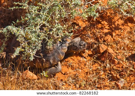 baby desert tortoise gopherus morafkai hiding under creosote bush on red rocks - stock photo
