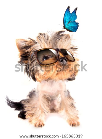 baby dog with fashion shades and blue butterfly on a white background - stock photo