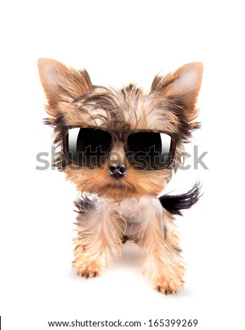 baby dog with fashion shades on a white background - stock photo
