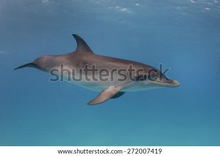 Baby dolphin swims near the surface  - stock photo
