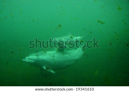 Baby dolphin with mother - stock photo