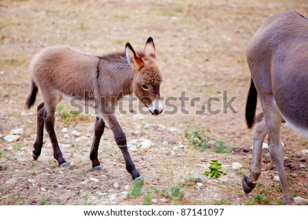 Baby donkey mule with mother in mediterranean Spain - stock photo