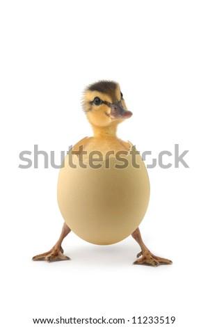 baby duck - stock photo