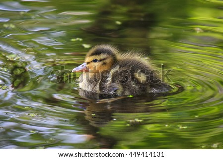 Baby duckling - stock photo