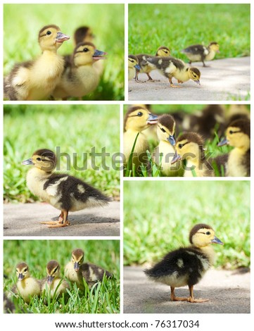 Baby ducks collage.