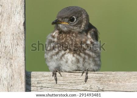 Baby Eastern Bluebird (Sialia sialis) on a fence - stock photo
