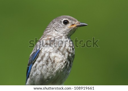 Baby Eastern Bluebird (Sialia sialis) on a perch with a green background - stock photo