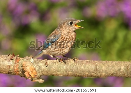 Baby Eastern Bluebird (Sialia sialis) on a perch with flowers in the background - stock photo